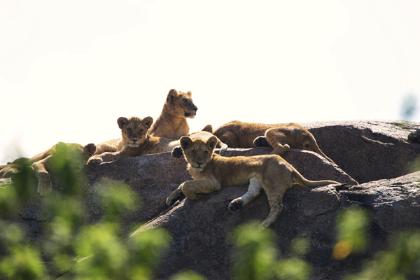 Lions at Dunia Camp