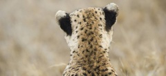 Namiri Plains - Cheetah