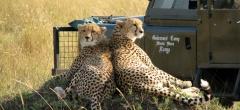Governors Camp - Cheetahs