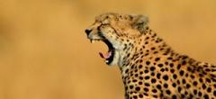 Masai Mara - cheetah