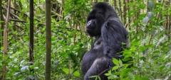 Gorilla Trekking - Bisate Lodge