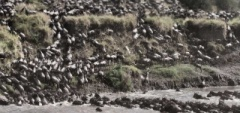 Serian Camp - Wildebeest Migration