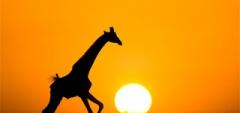 Kenya - giraffe sunset
