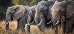 Elephant in South Luangwa - TIme and Tide