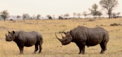 Client photo - rhino