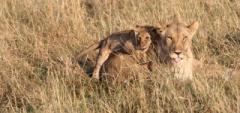 Client photo - Baby lion
