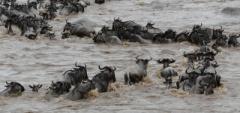 Client photo - wildebeest