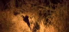 Client photo - hyena