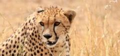 Client photo - cheetah