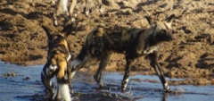 Wild dog in the Selous!