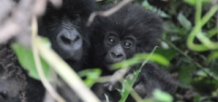 Client photo - Gorillas