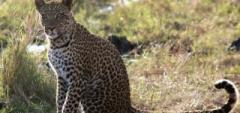 Client photo - leopard