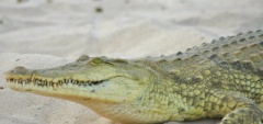 Client photo - crocodile