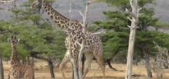 Client photo - giraffe