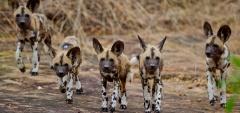 Roho Ya Selous - Wild Dog