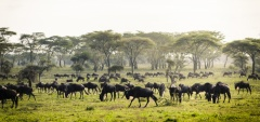 Sanctuary Kichakani Camp - Wildebeest migration