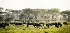 Sanctuary Kichakani Camp - Wildebeest migration