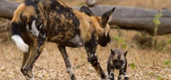 Rufiji River Camp - Wild Dog