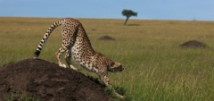 Mara Expeditions - Cheetah
