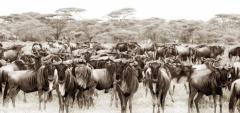 Sayari Mara - Wildeebest migration