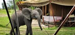Serian Camp - Elephant in camp