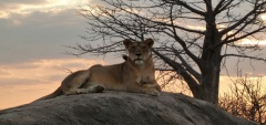 Mwagusi Camp - Lion