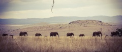 Lewa Downs - elephants