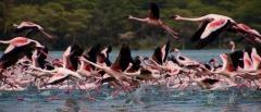 Loldia - Flamingoes