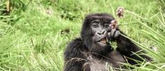 Gorilla Trekking - Sabyinyo Silverback Lodge