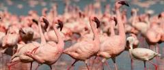 Lake Naivasha - flamingos