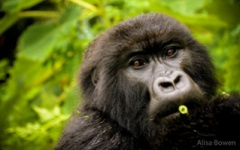Sabyinyo - Gorilla
