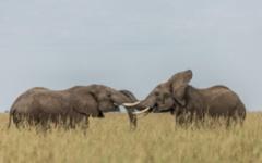 Masai Mara - elephants