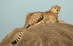 Itinerary photo - Cheetah
