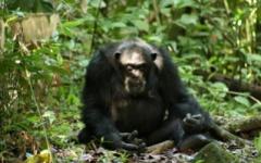 Western Tanzania - Chimp