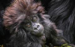 Sabyinyo Lodge - Gorillas