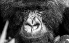 Sabyinyo Lodge - Gorilla
