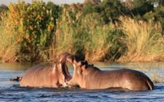 Itienary photo - Hippo