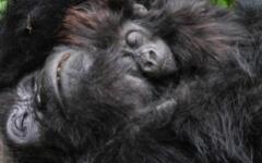 Rwanda Gorilla Trekking