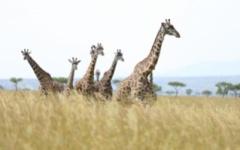 Masai Mara - giraffes