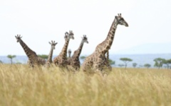 Kenya safari - Masai Mara